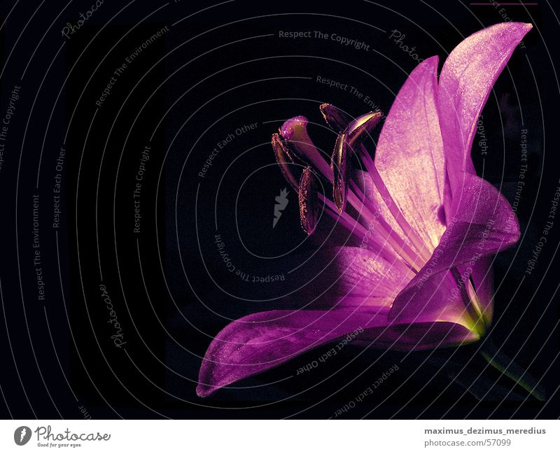 lily Flower Lily Violet