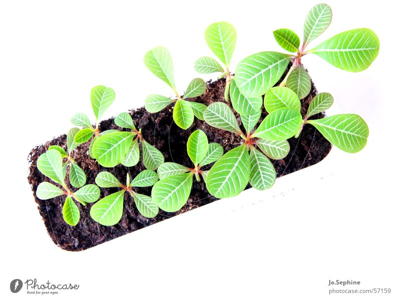 window sill bed Plant Earth flaked Growth Fresh Small Plantlet Euphorbiaceae Botany pupils Isolated Image Neutral Background Deserted Bird's-eye view