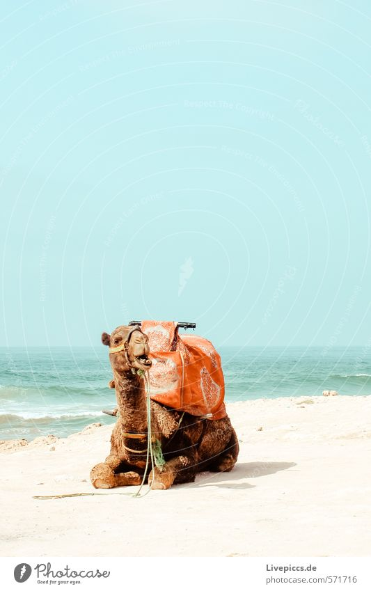 1 camel Vacation & Travel Tourism Trip Adventure Far-off places Freedom Sun Beach Ocean Island Waves Environment Nature Landscape Water Sky Cloudless sky Summer