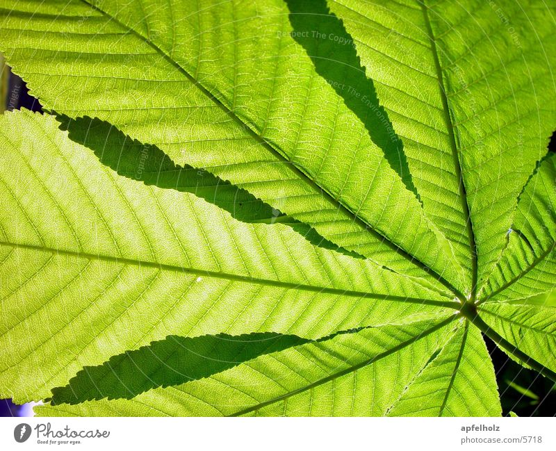 Tree Green Leaf Chestnut tree