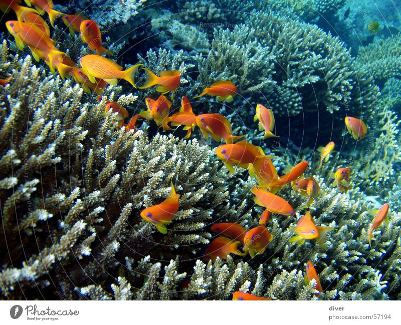 Life in the reef Dive Underwater photo Reef Sea goldie Fish Water Red Sea Egypt