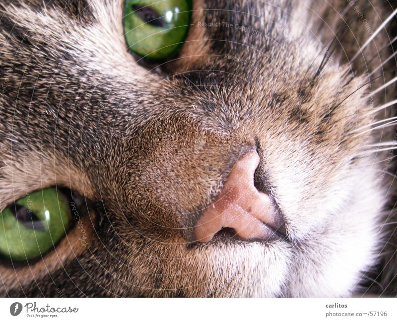 Cat Green Animal Pelt Facial expression Animal face Pet Domestic cat Direct Snout Looking Whisker Cat eyes Purr Hypnotic Detail of face