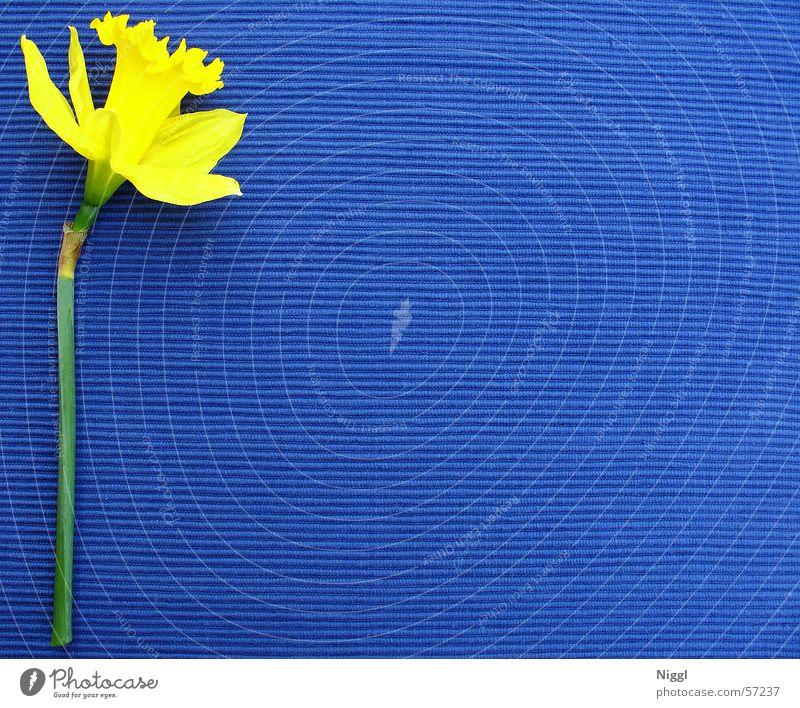 kelp.plau Flower Plant Wild daffodil Yellow Blue Colour Multicoloured Contrast niggl