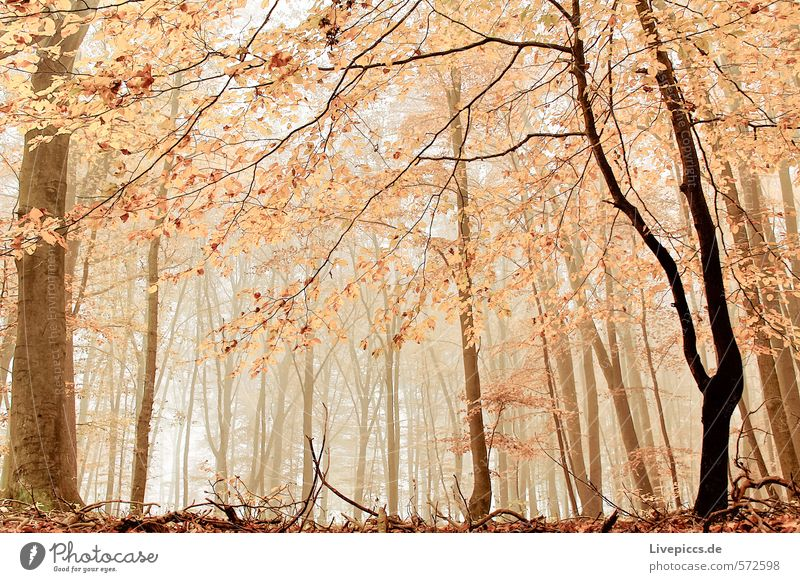 also in the forest Environment Nature Landscape Autumn Fog Plant Tree Leaf Wild plant Forest Wood Wet Natural Warmth Feminine Soft Brown Orange Serene Calm
