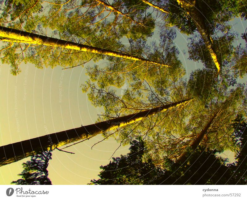 Off to heaven Tree Forest Fir tree Coniferous forest Light Sky Perspective Looking Above Tree trunk
