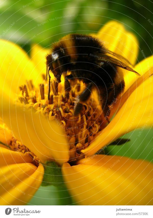 hardworking bumblebee Bumble bee Blossom Trunk Pelt Flower Stamen Nectar