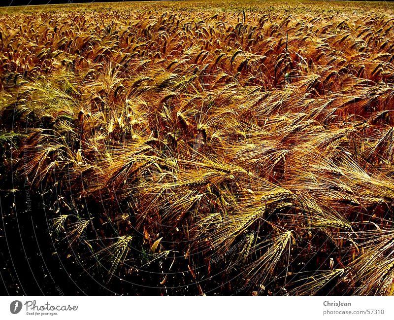Blue Yellow Landscape Field Grain Americas Harvest Wheat Ear of corn Plain Barley Sharp Niederrhein Working in the fields