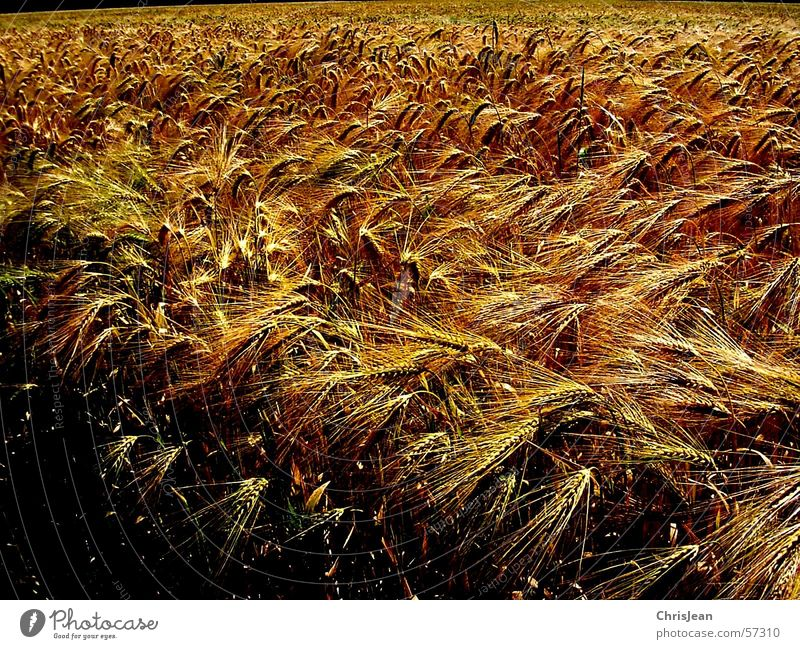 untitled Grain Landscape Field Blue Yellow Wheat Plain Niederrhein Sharp Working in the fields Barley Ear of corn Harvest Americas Colour photo