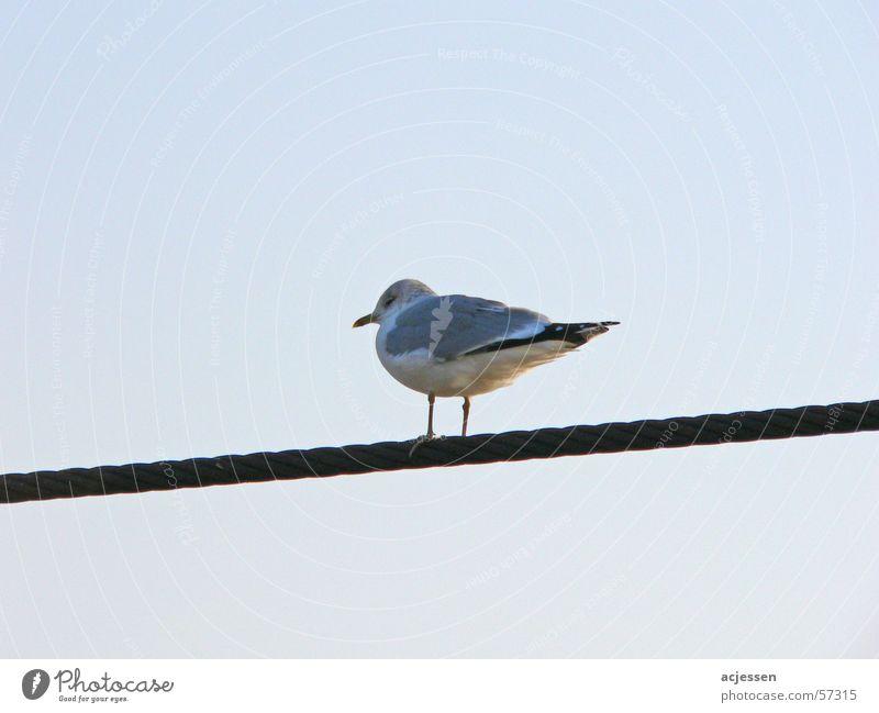 Sky Blue Calm Cold Bird Seagull Wire cable Gull birds