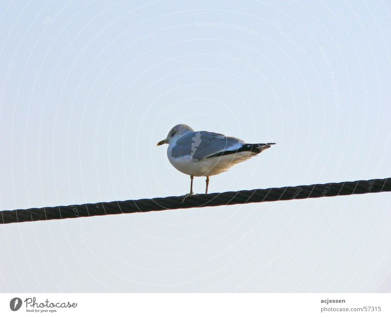 Sky Blue Calm Cold Bird Seagull Wire cable Gull birds