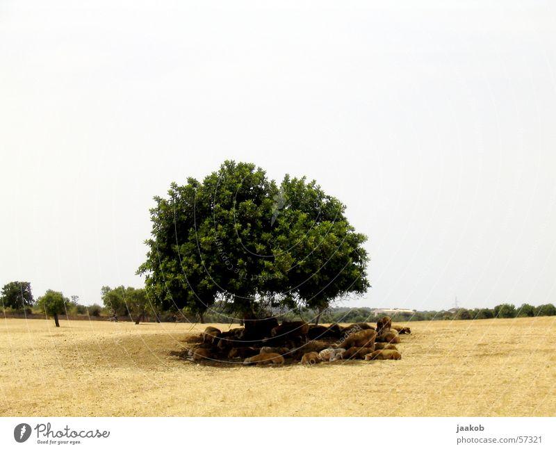 Tree Calm Warmth Physics Hot Sheep Drought
