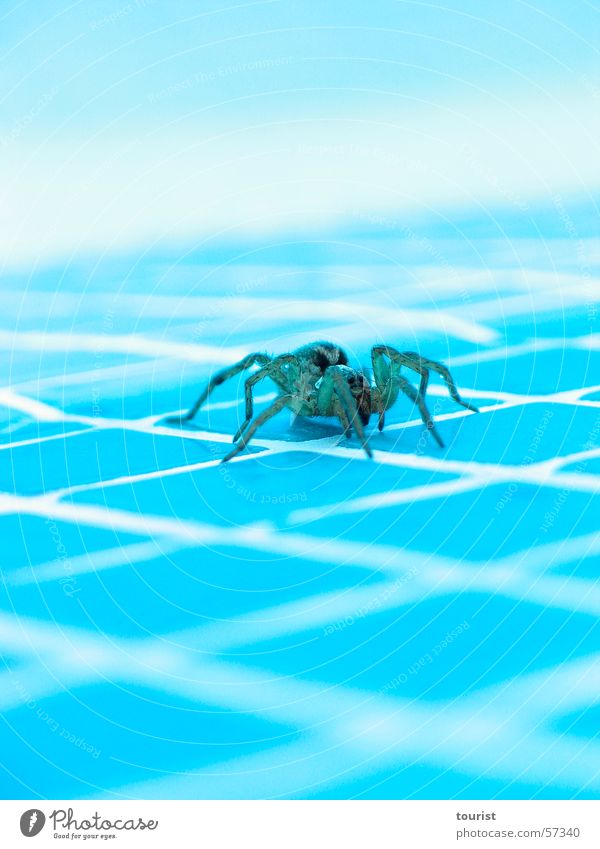 Water Warmth Dangerous Swimming pool Threat Italy Physics Spider Poison Umbria Wolf spider