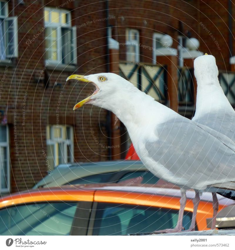 I can make the loudest!!! Fishing village Facade Car Animal Bird Seagull 2 Communicate Scream Threat Curiosity Crazy White Euphoria Willpower Brave Anger