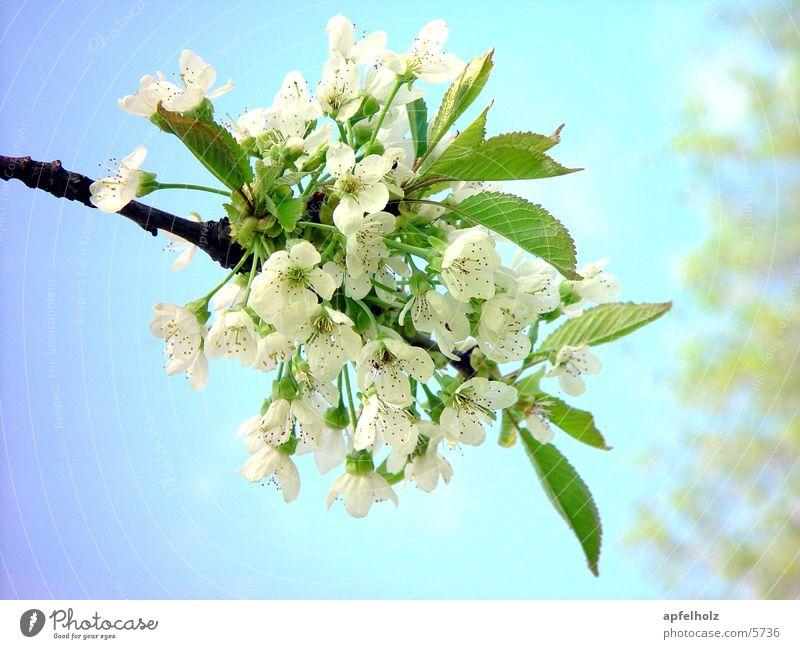 tree blossoms Spring Tree Blossom