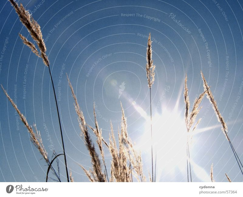 Nature Sky Sun Blue Summer Grass Warmth Lighting Physics Common Reed Blade of grass Beautiful weather Dazzle Impression