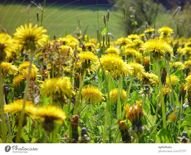 dandelions Flower Yellow Spring Meadow