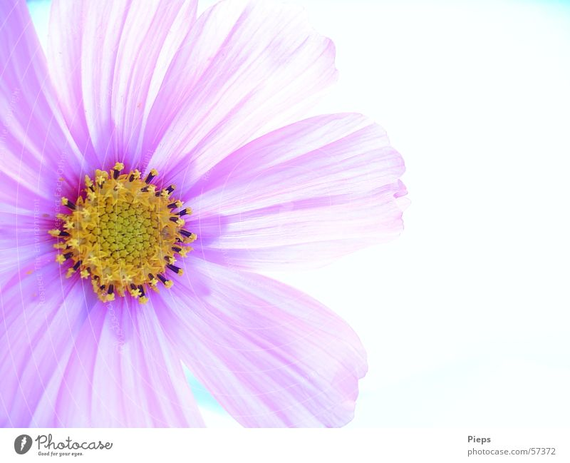antidepressant Colour photo Interior shot Macro (Extreme close-up) Copy Space right Neutral Background Beautiful Summer Nature Plant Flower Blossom Blossoming