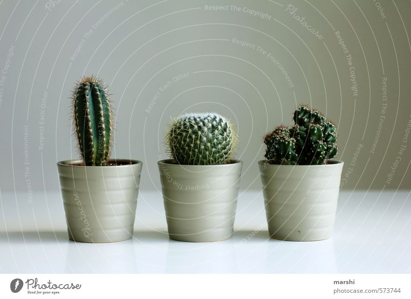 captivating trio Plant Brown Green Cactus 3 Sharp Pierce Fir needle Decoration Leisure and hobbies Colour photo Interior shot Day