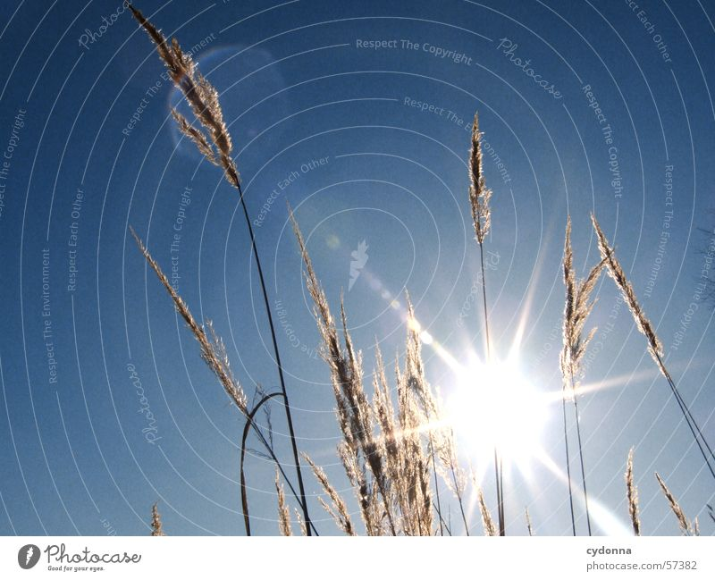 Nature Sky Sun Blue Plant Summer Grass Moody Common Reed Dazzle Impression