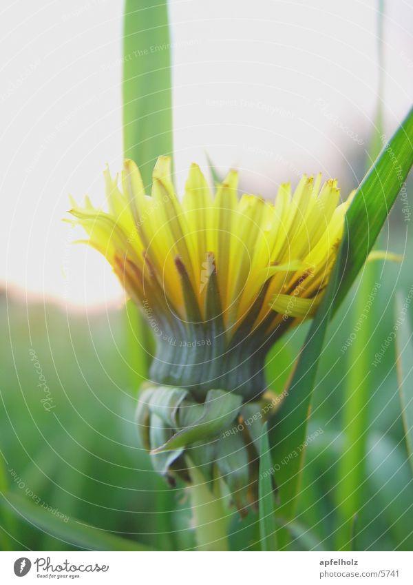 yellow flower Dandelion Grass Green Yellow Nature