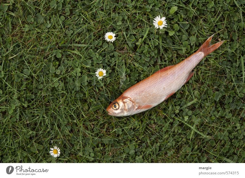 Meadow fish: A dead fish on a meadow with daisies Food Meat Fish Seafood Nutrition Healthy Nature Plant Flower Grass Foliage plant Daisy Grass surface Garden