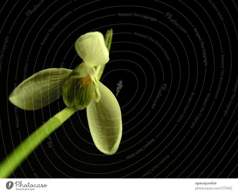 White Green Plant Black Blossom Stalk Herbaceous plants Snowdrop