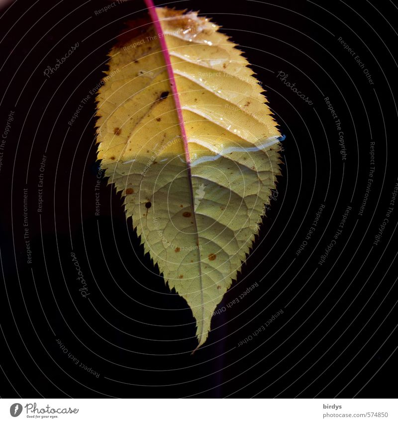 immersion Water Leaf Dive Esthetic Fluid Positive Beautiful Yellow Green Black Purity Nature Rachis 1 Underside of a leaf Autumn leaves Contrast Isolated Image