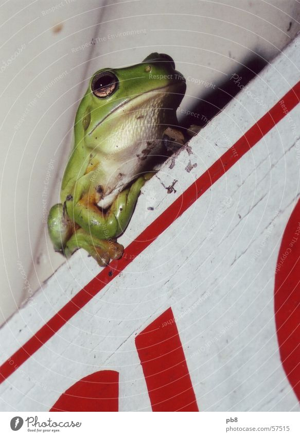 frog Green Red Frog Sit Perspective
