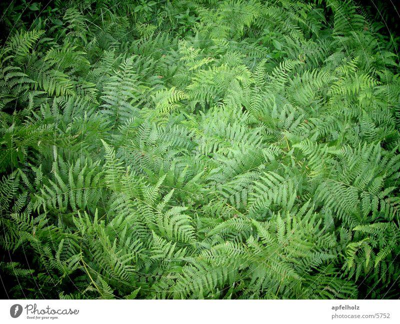fern green Green Summer Nature Pteridopsida
