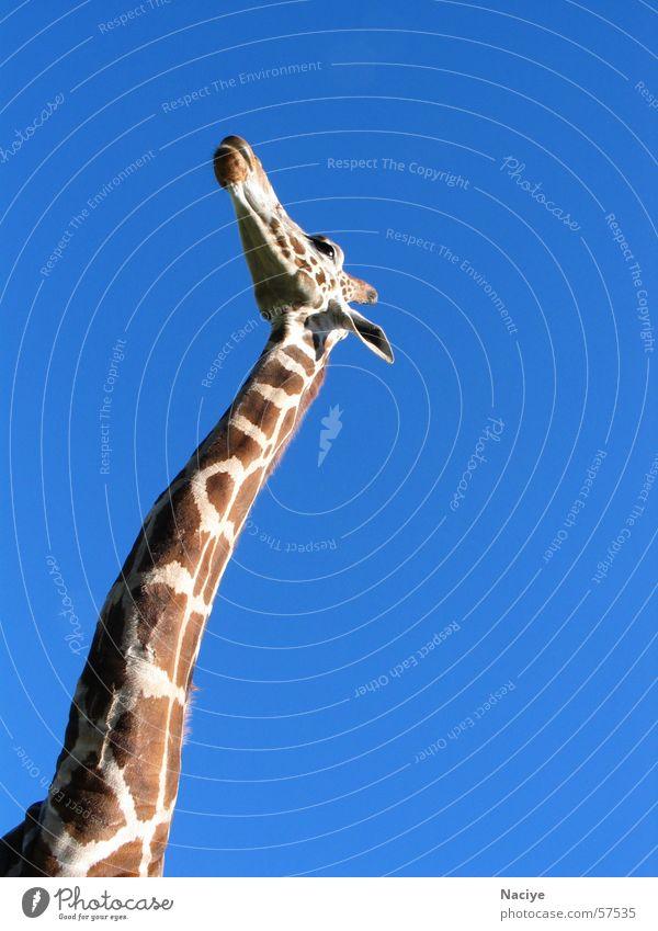 vista of heaven Large Brown flecked Giraffe long neck Neck Patch Elegant Blue Blue sky