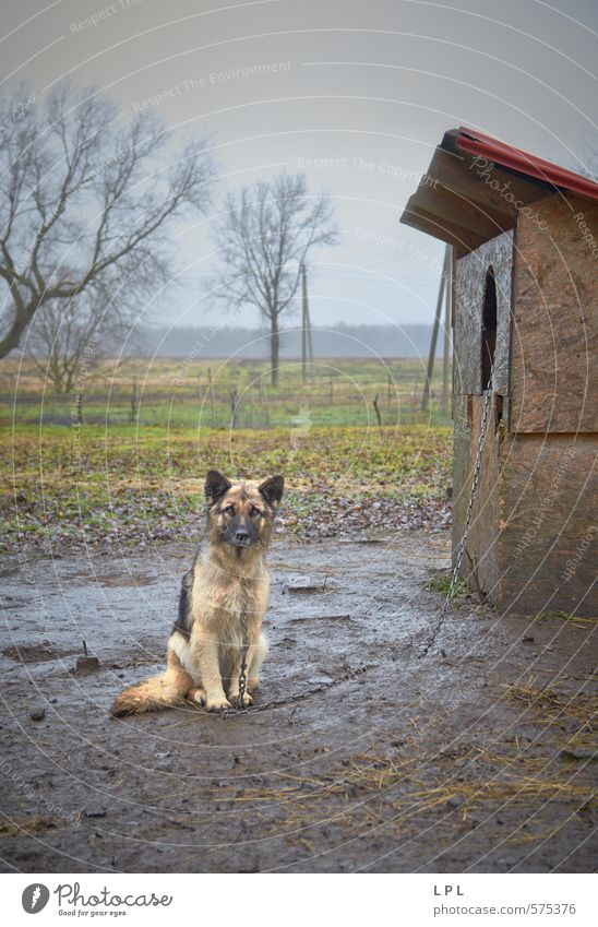 a day in the life of a guard dog Animal Pet Farm animal Dog Poverty Testing & Control Village Village idyll Watchdog cruelty to animals Torture Anguish Pain