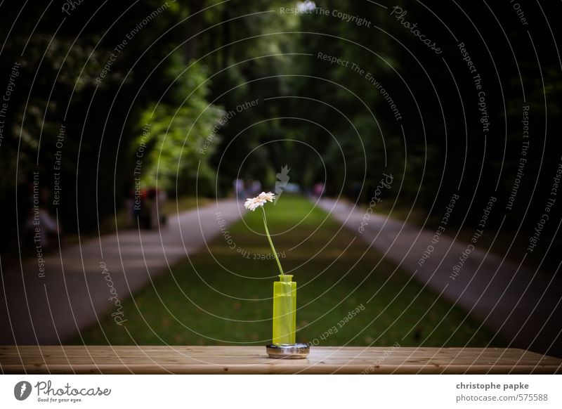 table decoration Nature Plant Tree Flower Park Blossoming Vase Marguerite Colour photo Exterior shot Isolated Image Shallow depth of field Central perspective