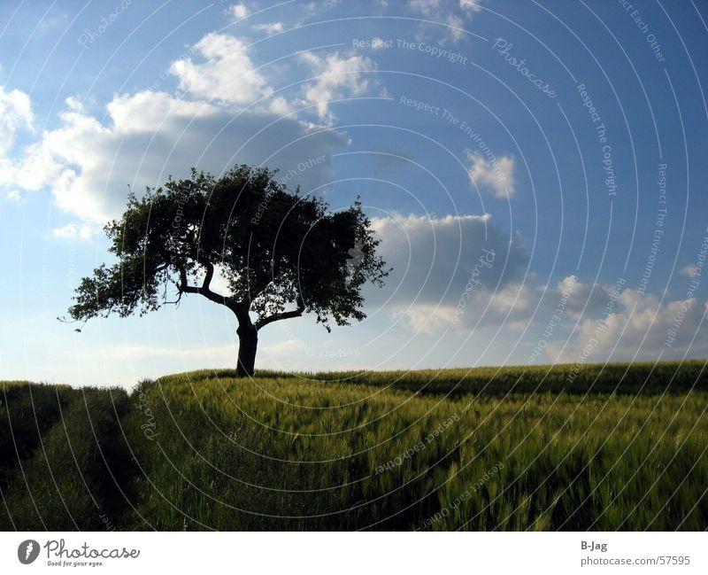 Tree Summer Clouds Loneliness Field Grain Footpath Grain Blue sky