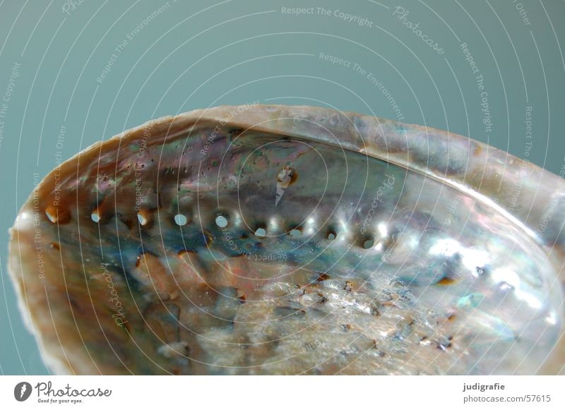 abalone Snail shell Mussel Lime Mother-of-pearl Hollow Ocean Glittering Camera Gray Atlantic Ocean Mediterranean sea Protection Blue Life Structures and shapes