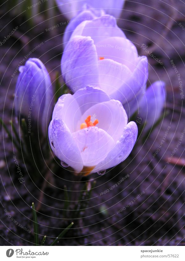 Water White Blue Blossom Spring Garden Drops of water Earth Crocus