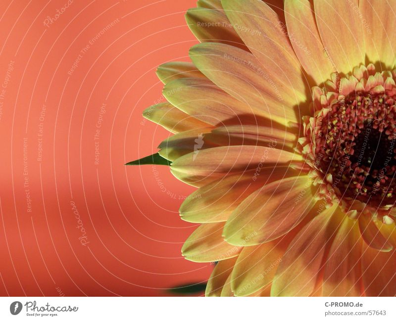 Sun Desire Gerbera Flower Blossom Light Red Yellow Physics Spring Ornamental plant Macro (Extreme close-up) Jump Nature Close-up Joy Orange Warmth Fragrance