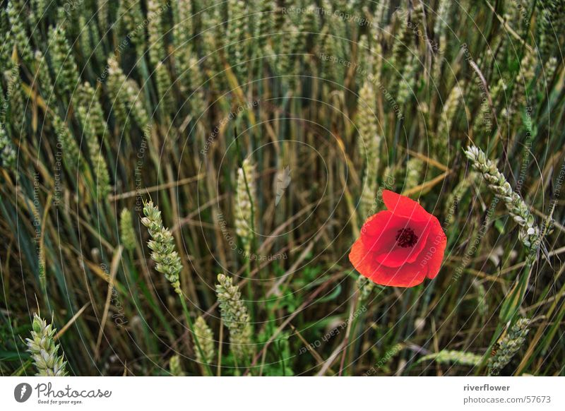 dashes of colour Poppy Cornfield Summer Moody Red Flower Field Loneliness Blossom Nature Landscape