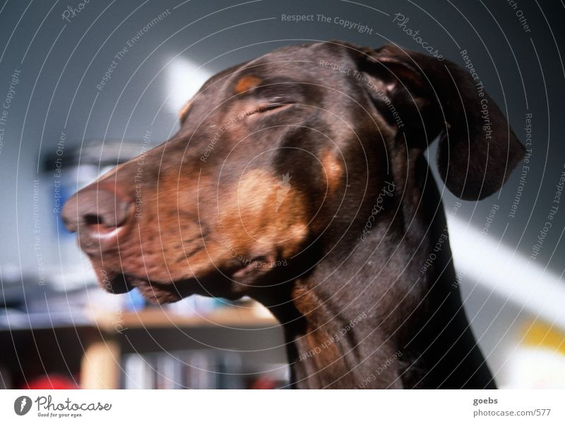 Sunbathing Doberman Dog