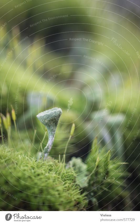 törrrööö... Nature Plant Moss Natural Lichen trumpet lichen Spore Green Macro (Extreme close-up)