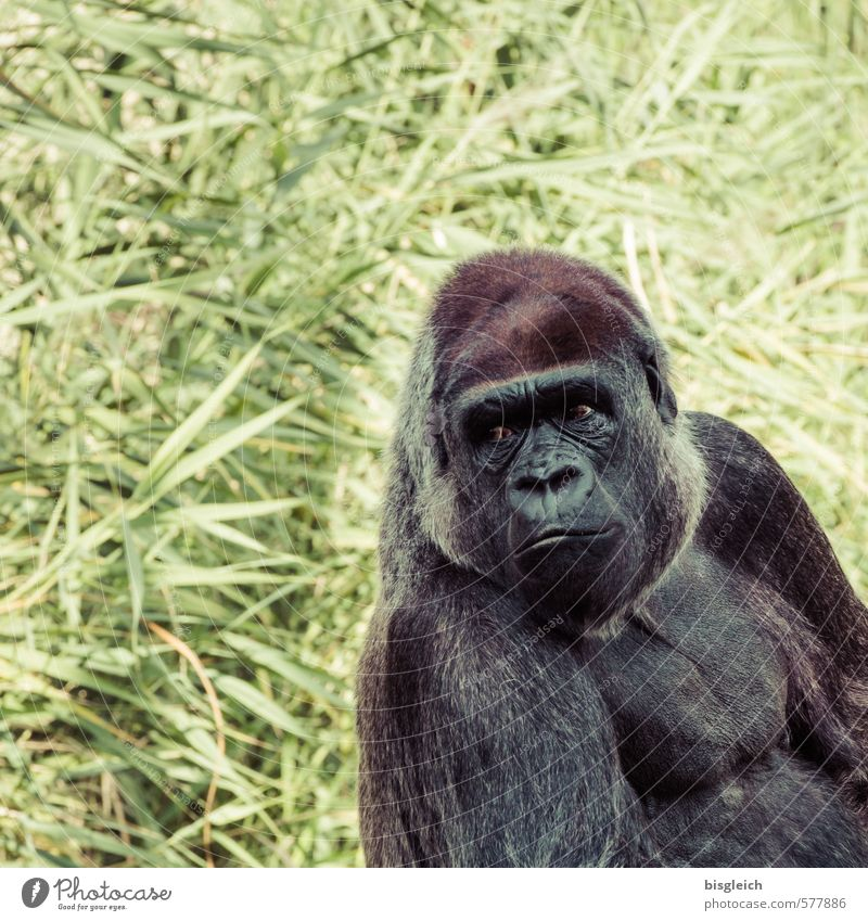 gorilla Zoo Animal Animal face Monkeys Gorilla 1 Looking Sit Large Strong Brown Gray Green Colour photo Exterior shot Deserted Copy Space left Copy Space top