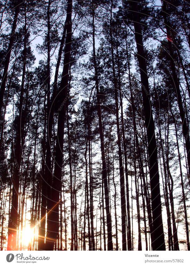 Sky Tree Sun Blue Forest Orange Stars Star (Symbol) Corner Treetop Pine Coniferous forest Lausitz forest