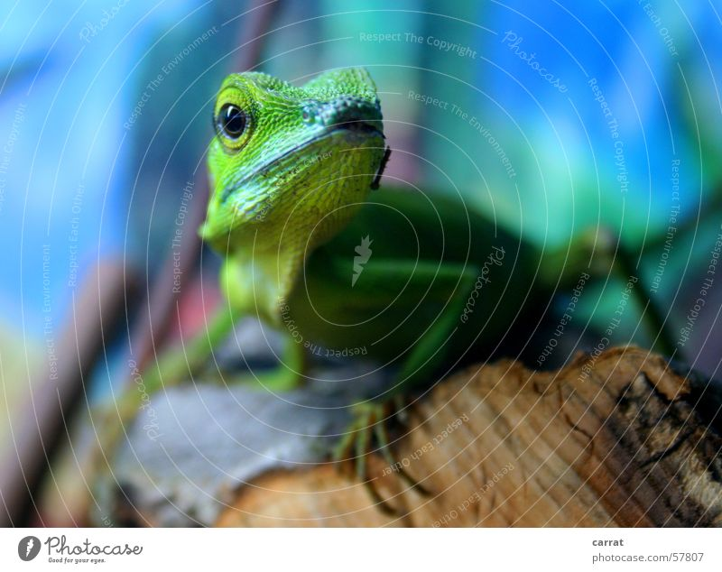 Ready for takeoff Green calotes Saurians Agamidae Animal Primitive times Zoo Pet shop Terrarium Virgin forest Captured Blue Contrast Life Wild animal