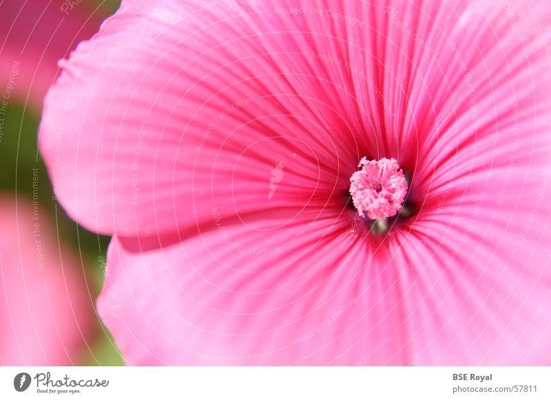 Nature Plant Blossom Spring Pink Pistil Hawaii