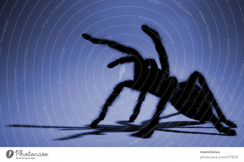 Blue Fear Spider Attack Bird-eating spider