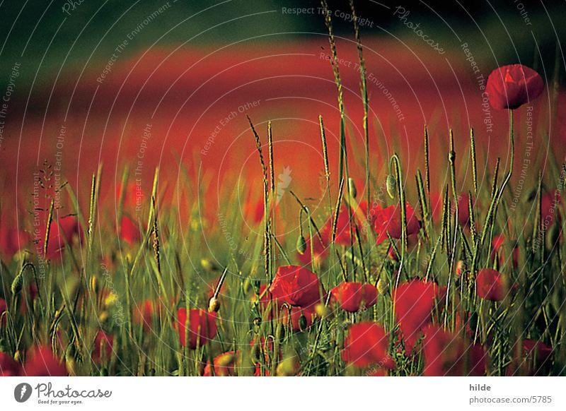 Red Meadow Field Poppy Poppy field