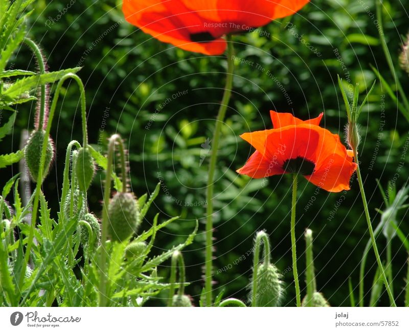 Flower Summer Garden Poppy Visual spectacle