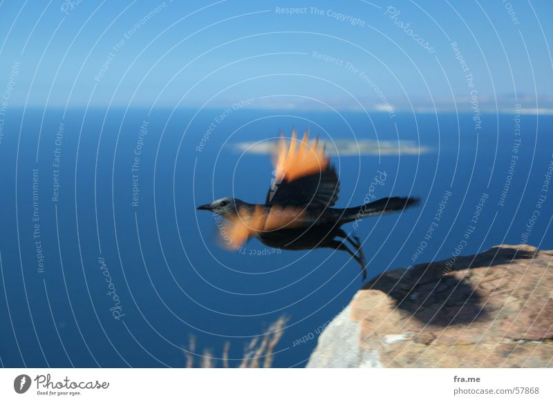 bird Air Beginning Black Africa Cape Town Exterior shot Flying Feather Mountain Sky Orange Tall Stone Lion's Head Freedom