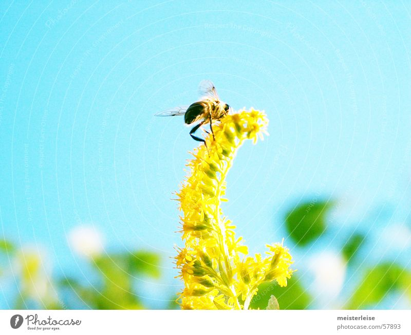 Nature Plant Summer Animal Spring Garden Flying Insect Bee Collection Honey Diligent Honey bee