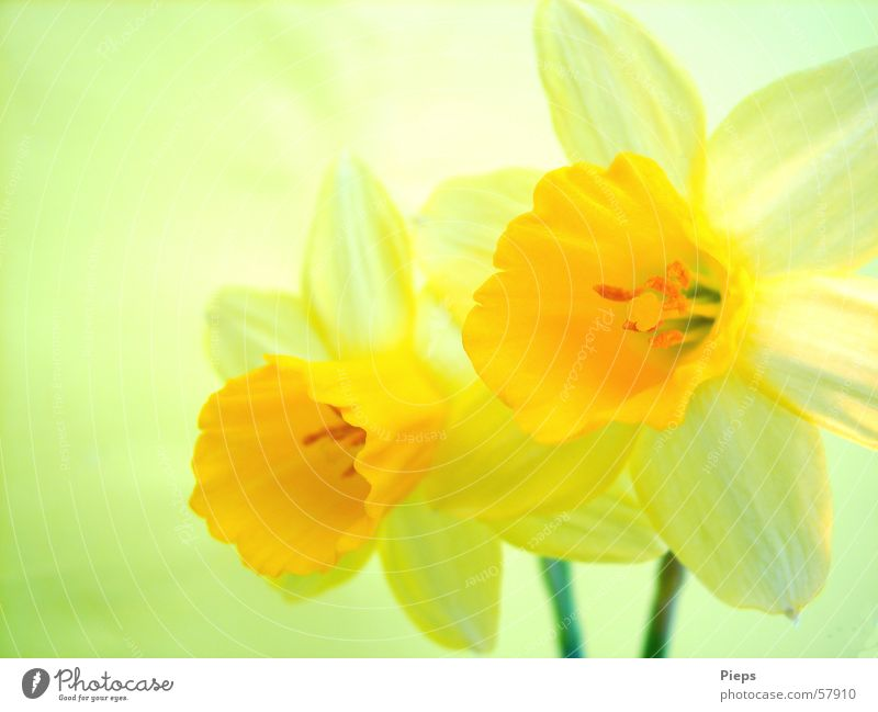 Transience in yellow Colour photo Interior shot Macro (Extreme close-up) Decoration Nature Spring Flower Blossom Blossoming Yellow Spring fever Narcissus