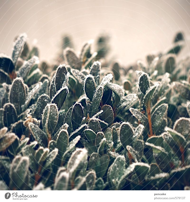crispy Nature Plant Ice Frost Bushes Beech Authentic Cold Green Decoration Natural material Hoar frost Colour photo Exterior shot Close-up Detail Abstract